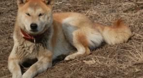 日本犬の犬種、すべて知っていますか?(秋田犬、甲斐犬、紀州犬編)