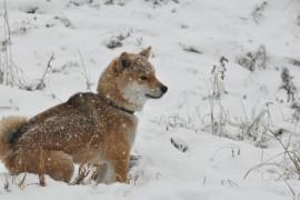 日本犬の犬種、すべて知っていますか?(四国犬、柴犬、北海道犬編)