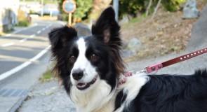犬の知能と賢い犬種ランキング
