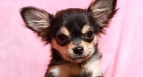 犬の豊かな感情表現「しっぽ振り」は何を表している?