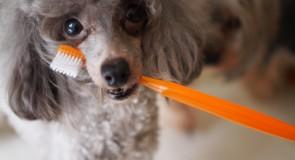 子犬の頃からの歯磨きの習慣の大切さ