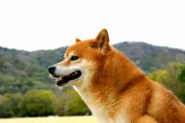 柴犬の日常のお手入れ方法(ブラッシングとシャンプー、ドライ編)