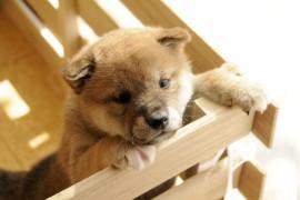 日本犬のおすすめ癒し動画、おもしろ動画