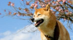 日本犬ブーム!人気柴犬ブログを紹介(まる、どんぐり、ひかりといちご)