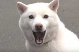 ソフトバンクのCMでも有名!日本犬、北海道犬の特徴