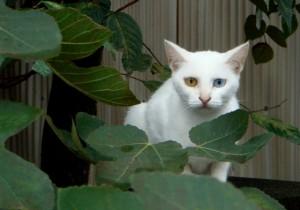 猫がオッドアイになる原因、確率は?