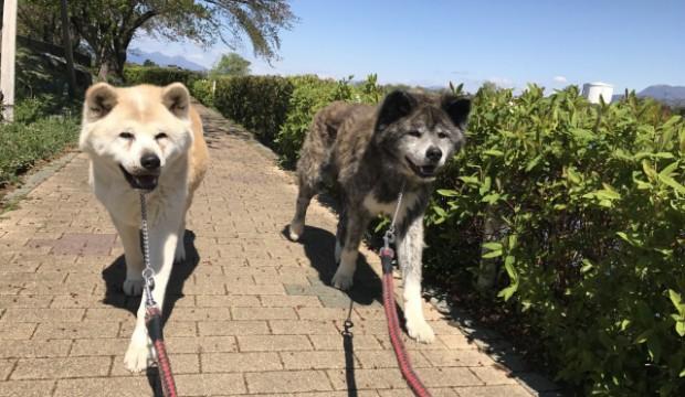 日本犬、人気秋田犬ブログ「もももの部屋」を紹介。