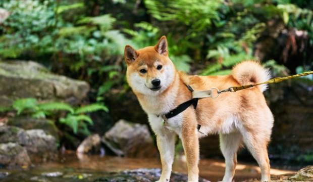 日本犬、柴犬の特徴