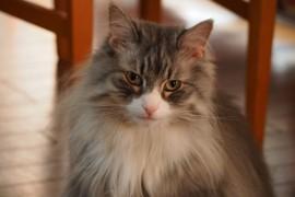 【猫好き必見!】ノルウェージャンフォレストキャットの性格や飼う際の注意点