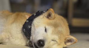 有名、日本犬ブログ紹介「柴っ晴れ!湘南凸凹柴WAN日記」