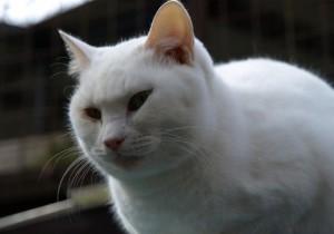 アジアでしか確認されなかった猫麻疹ウイルスがアメリカで確認される