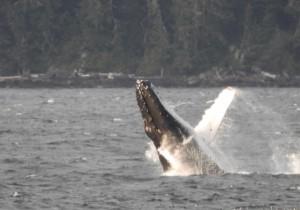 ママの注意を引くために囁く赤ちゃんのザトウクジラ