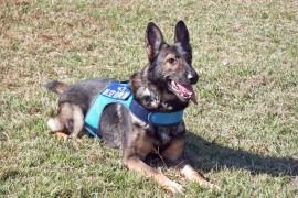 アメリカで犬が警察署の正式スタッフとなる。