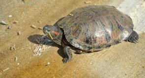 マダガスカルで大量に発見!?放射線を浴びた1万1千数頭の亀。
