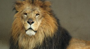 マウンテンライオンが恐れるもの。それは、実は人間の声なのです。
