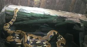 風呂で3メートルのニシキヘビと遭遇した時の話