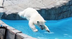 北極の氷が溶け、ホッキョクグマはアザラシではなく、「〇〇の卵」を食べる?